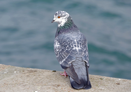 big Beautiful pigeon on a walk Stock Photo