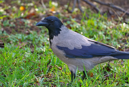 big and beautiful crow on the grass