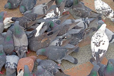 Many pigeons fight over for food 版權商用圖片