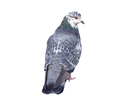 big Beautiful pigeon on white background