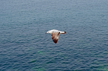 Gull in the air above the water Imagens