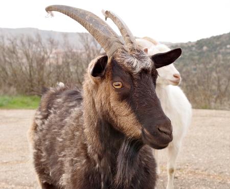 big black goat on a walk