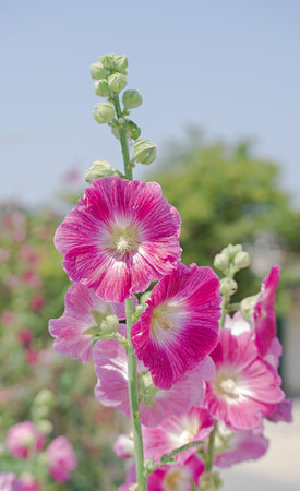 Hibiscus syriacus is a species of flowering plant in the family Malvaceae