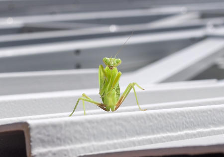 beautiful mantis sits on a metal structure Archivio Fotografico