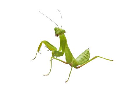 beautiful green mantis on white background Archivio Fotografico
