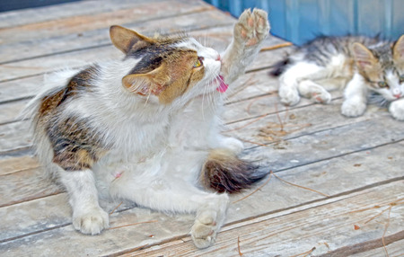beautiful cat washing itself near a kitten Stock fotó