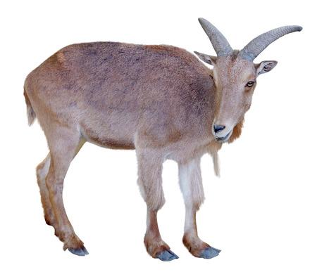 Jeune chèvre de montagne isolé sur fond blanc