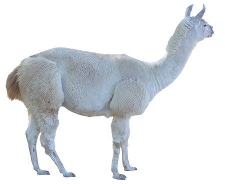 Beautiful white lama on white background Stock Photo