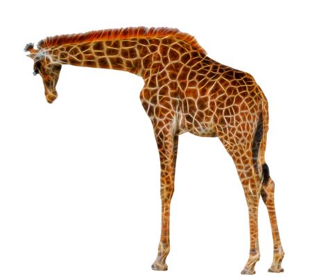 fraktale große schöne Giraffe isoliert auf weißem Hintergrund Standard-Bild