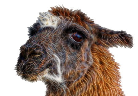 beautiful fractal  lama portrait on a white background