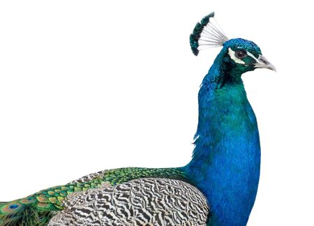 Portrait of beautiful male peacock Stock Photo