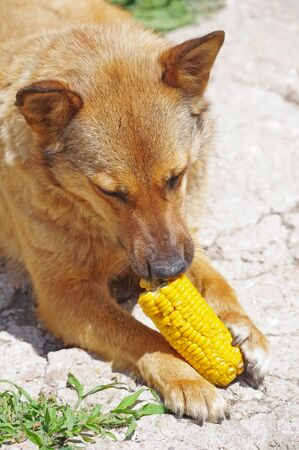 the Cute red dog eats corn cob