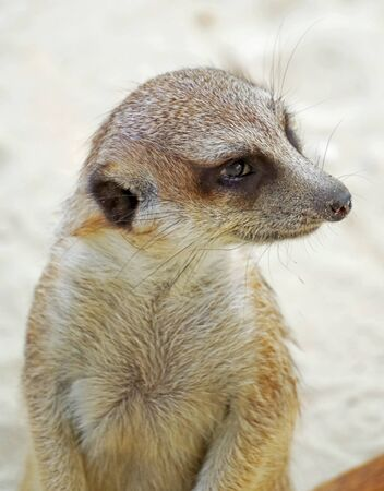 Portrait of a small, fluffy and cute meerkat