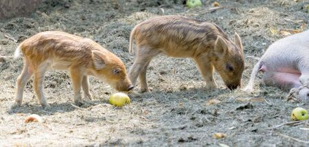 two little pig eat apples in the zoo Imagens