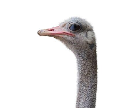 the Portrait of Australian Emu Stock Photo