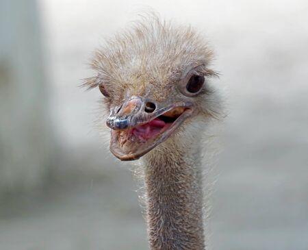 Close up view of an ostrich bird head 写真素材