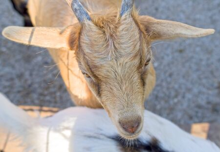 the Portrait of goat in zoo Imagens