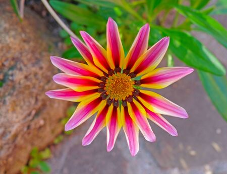 Single yellow pink gerbera flower into the park