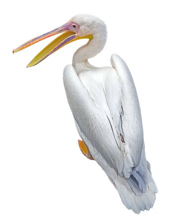 the big beautiful Pelican on white background