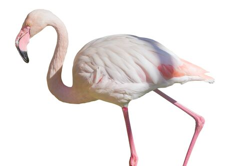 the African Greater Flamingos on white background Фото со стока