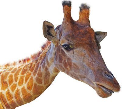 Giraffe head face isolated on white background Фото со стока