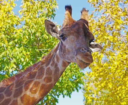 Giraffe head face isolated on the background of autumn trees Фото со стока