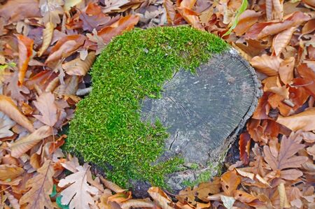 Old tree stump covered with moss in the  autumn forest