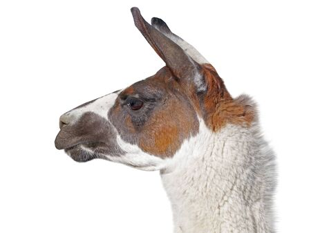 Beautiful lama portrait on a white background 스톡 콘텐츠