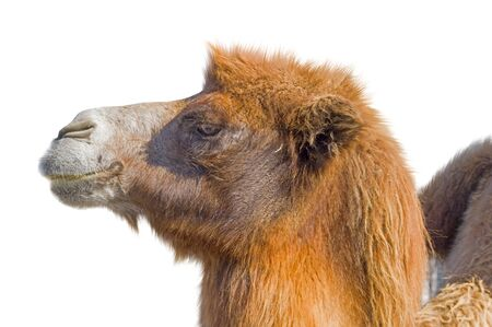 Portrait of a camel on a white background Stock Photo
