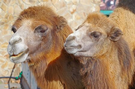 Portrait of a two camels. Portrait of camels in the zoo Stock Photo