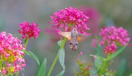 An hummingbird hawk-moth (Macroglossum stellatarum) feeding nectar from flower Фото со стока