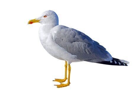 White and grey seagull isolated on white background