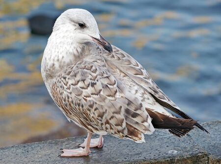 Close up view of a beautiful seagull is white and gray color 스톡 콘텐츠 - 136889437