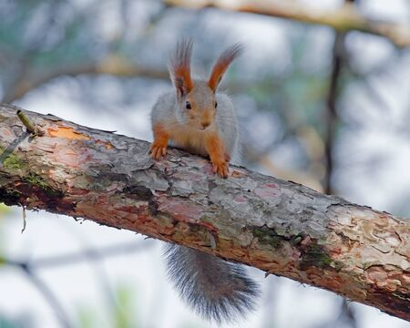 beautiful red squirrel sitting on a tree into the park Imagens