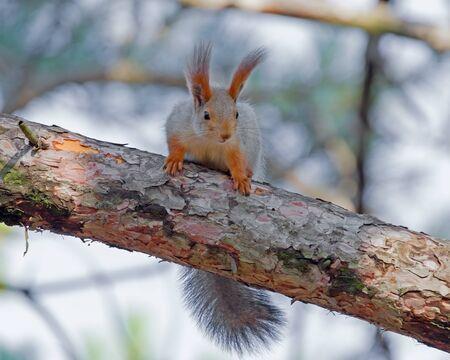 schönes rotes Eichhörnchen sitzt auf einem Baum in den Park Standard-Bild