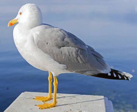 Close up view of a beautiful seagull is white and gray color