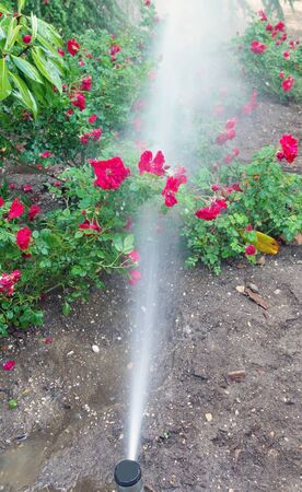 the using a garden sprinkler to water plants and shrubs Фото со стока