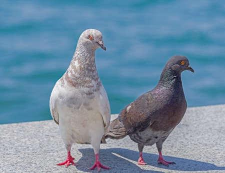tthe big Beautiful pigeons on a walk