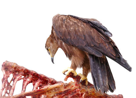 The steppe eagle is a bird of prey on white background Standard-Bild