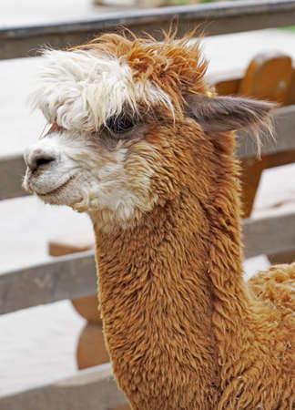 very Beautiful lama portrait on a Sunny day