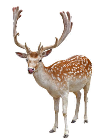 the European fallows deer on white background