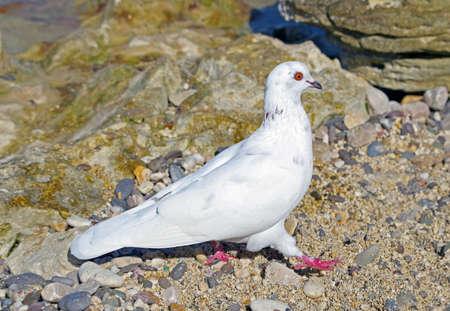 big Beautiful pigeon on a walk