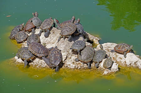 red-eared turtles basking and swimming in the sun Фото со стока