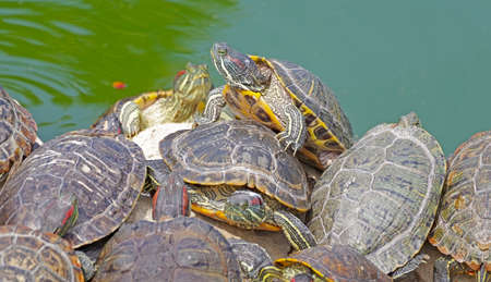 red-eared turtles basking in the sun and swimming