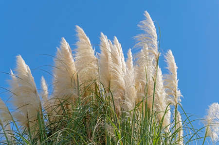 Cortaderia selloana pumila silver yellow plant pampas grass foliage against the blue sky