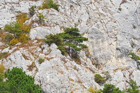 A young green pine tree against a gray rock Фото со стока