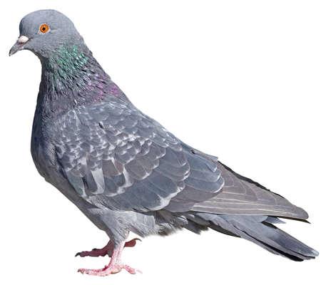 big Beautiful pigeon on white background