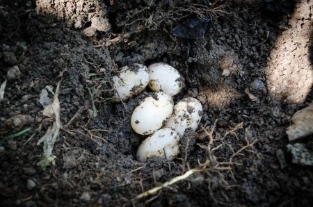 bury: turtle eggs2