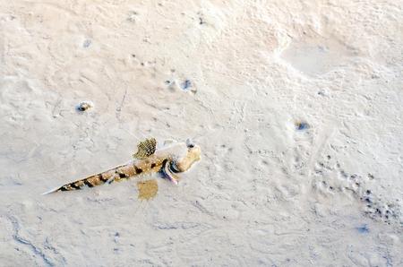 mesogobius: Mudskipper or Amphibious fish Stock Photo