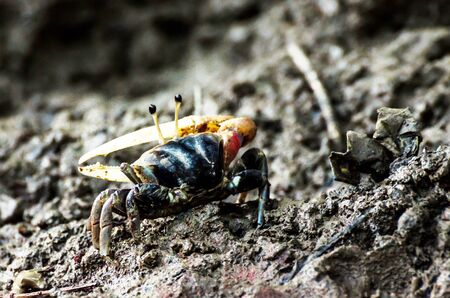 fiddler: Colorful fiddler crab Stock Photo
